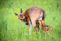 Nursing Fawns