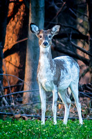 Piebald White-Tail Deer