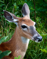 Doe Portrait