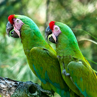 Military Macaws