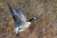 Canadian Goose Abstract