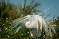 Great Egret Displaying Breeding Plumage(Aigrettes)