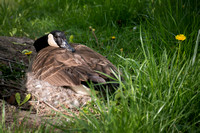 Nesting Canadian Goose