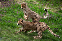 Cheeta's at Play