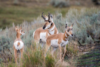 Antelope Buck with Fawns