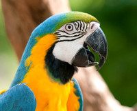 Blue & Gold Macaw, Portrait