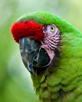 Military Macaw 2