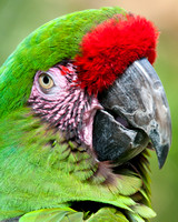 Military Macaw, Portrait