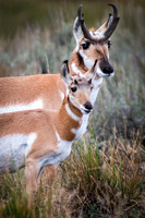 Antelope Buck with Fawn