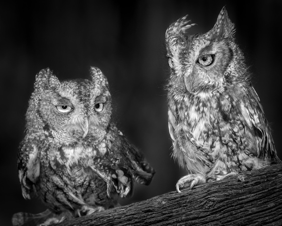 Eastern Screech Owls, Black& White