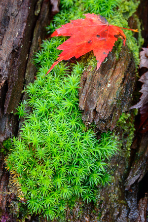 Moss with Red Leaf
